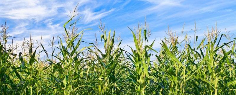 SmartStrand powstaje z kukurydzy!